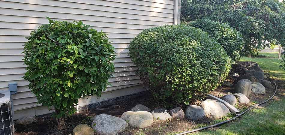 Shrubs in %%targetarea1%, MI that have been trimmed by Tri-City Property Maintenance team members.